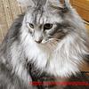 シルル4歳になりました:メインクーン猫シルルのもふもふ