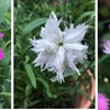 庭のナデシコが咲いています.クロウリハムシが少ない今年の花姿はきれい.花だけでなくナデシコという名は柔らかく心地よく響きます. 「 カワラナデシコの別名:大和撫子が,古来より日本女性を表す言葉だった」という説,「ナデシコの語源は愛すべき愛児」とする説,共に誤りであっても,つい納得させられてしまいますね.