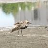 三番瀬の野鳥たち ダイゼン・オオソリハシシギ