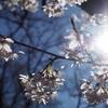 ひさかたのひかりのどけき春の日