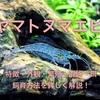 ヤマトヌマエビの特徴や飼育方法・混泳・餌・繁殖を詳しく徹底解説!