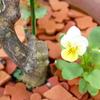 真夏に咲くビオラは初めてです♡レモンの木の根元にレモンイエローの可愛い花が咲いています♡