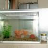 うちの金魚の金太郎