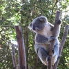 天王寺動物園 コアラのアークがイギリスへ