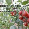 トマトには2種類のビタミンCがある~加熱すると栄養が逃げるは本当か~