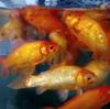 『巨大な金魚の群れ』の水槽。大阪市営日本橋住宅4号館【大阪府大阪市浪速区】
