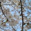 桜の咲く頃に 春のお散歩の思い出について