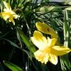 庭のラッパ水仙