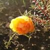 夕陽の中のマツバボタン  in  マイ癒しの花壇