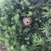 浜松市で細葉の木の中にできたスズメバチの巣を駆除してきました