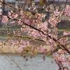 河津桜咲きました(千日前編)