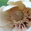 朴(ほお)の花咲く ハナヒラク/香りの記憶、心の旅②