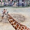 慶祝行事で無料の二条城と京都市動物園へ