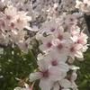 来年も桜は咲きます!