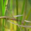 ニクハゼ Gymnogobius heptacanthus