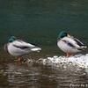 日本 水鳥たちの淵