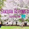 桜の花びらが撮れないかやってみたい