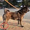 甲斐犬サンの『猟犬性能?について聞いてみたッ』其の弐〜_φ( ̄ー ̄ )ヤッパメモメモ……