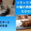 リラックス・モードの猫の表情はとってもかわいい! ~ノルウェージャンフォレストキャット&ソマリ~