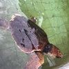 下田海中水族館の海亀とは24時間無料で遊べる!