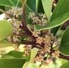 クロガネモチの雌花とアオハナムグリ