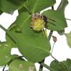 2012/06/04 キボシアシナガバチの営巣