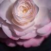 宝珠咲きから千重咲きに、美しきミリンダ