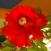 大輪の牡丹の花