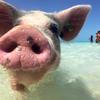 バハマのぶたさんと泳げるビーチの無人島ツアー感想と行き方!予約方法や内容を紹介【ナッソー】
