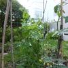 ミニ菜園だよりプラス ⑥ 初収穫