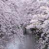 愛知県岩倉市にある五条川の桜並木は両岸にめちゃくちゃ咲いてます