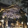 夜の豊国神社で蜂須賀桜とご対面@2021