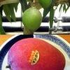 マンゴー1 なかなか食べる機会が少ないマンゴー.しかし,最近国産の「完熟マンゴー」が人気.パイナップルには及びませんが,かなりの量のマンゴーが,日本で収穫されている!計算上は,日本で出回っているマンゴーの約1/3は国産.マンゴーは,ウルシ科で,ウルシと同じウルシオールというかぶれの原因物質を持っている要注意果物ですが,大好きな果物です.