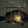 備忘録:時期の違いによる魚のサイズの変わりようについて