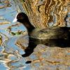 水温む手賀沼を泳ぐオオバン