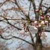 江戸川区小松川公園でお花見