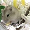 チーズを食べるジャンガリアンハムスターのバナナちゃん。豆知識:ハムスターの食事について