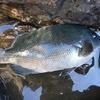 釣った魚を美味しく食べよう〜メジナ編〜