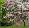 「佐久の季節便り」、「サトザクラ(里桜)・八重桜」は、今が見頃に…。