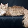 猫の種類ラパーマの性格や値段!飼い方の注意点は