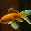 金魚は決して初心者向けではない