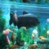 大阪梅田 かわいい水族館とお別れしてきました & Tボーンステーキ♪