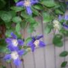 今どきの庭の青紫の花