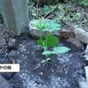 今年もゴーヤの苗を植えました