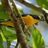 ベリーズ マヤ遺跡で出会った Yellow-throated Euphonia (イエロースローテッド エウホニア)