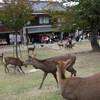 奈良公園から若草山の下の鹿たち