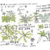 春の七草、ハコベラ、ハコベ、繁縷、雛草、ひづりのこと
