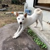 10月のばん太【柴犬♂6ヵ月】警察犬訓練所のおかげで散歩出来るようになり、認知症と糖尿病の私専属トレーナーをゲット❗️