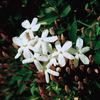 今日の誕生花「ジャスミン」ジャスミンと言っても、有毒もある!