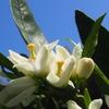 除草作業が全園完了&ダイミョウセセリとナガメとスジベニコケガ&甘い香りのペチュニア&春菊の花はまっさかり&色付く苺♪